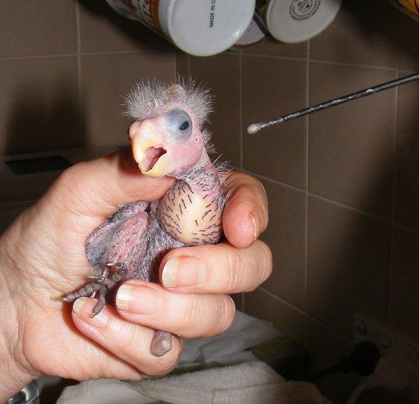 CARING FOR BABY BIRDS - Brenda   Wildlife Rescue ...